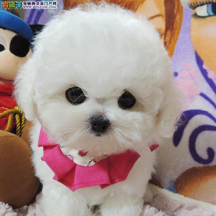 CKU永久注册犬舍 精品小体比熊买着健康放心