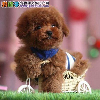 CKU永久注册犬舍 精品小体泰迪 欢迎您的指导