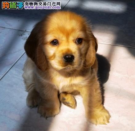东莞可卡犬 小型犬可卡犬 东莞那里有卖纯种可卡犬