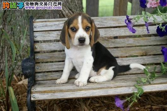 超级精品比格犬 CKU认证犬舍 等您接它回家