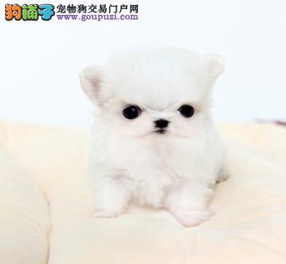 纯种犬繁殖中心出售高品质京巴幼犬 签订合同售后