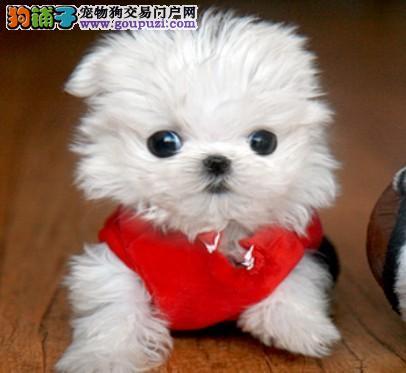 长沙市哪里有卖京巴犬/京巴犬价格
