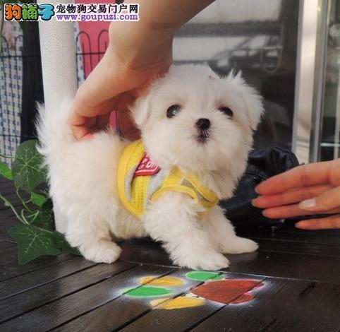 西城实体店低价促销赛级马尔济斯幼犬质量三包完美售后