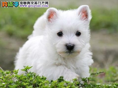 超级精品西高地 CKU认证犬舍 购犬可签协议