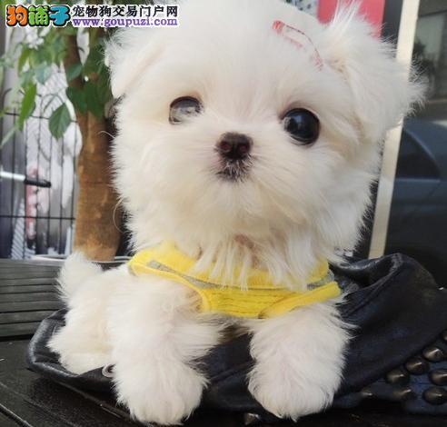 出售马尔济斯幼犬,纯正血统完善服务,专业信誉服务