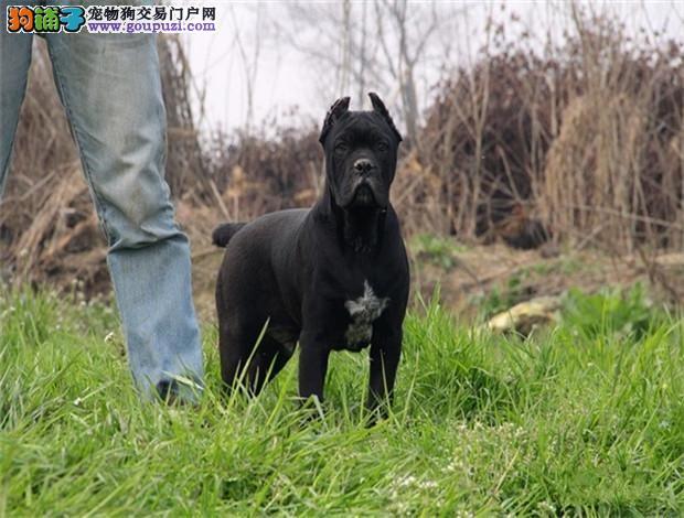 赛级品相黄浦卡斯罗犬幼犬低价出售爱狗人士优先狗贩勿扰