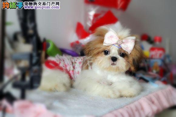 出售聪明伶俐成都西施犬品相极佳微信咨询看狗狗视频