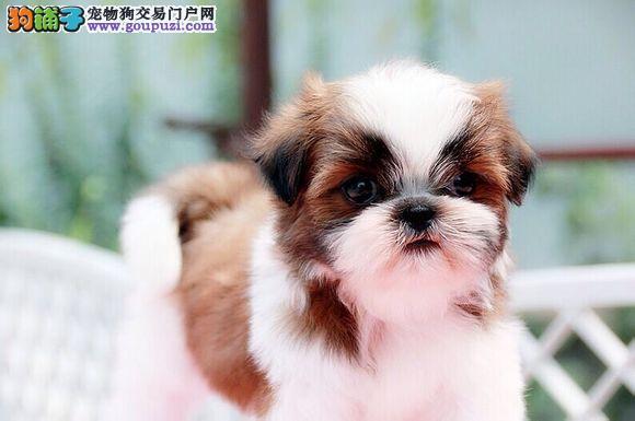 家养多只西施犬宝宝出售中可签合同刷卡