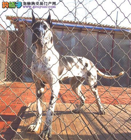 大丹犬最大的正规犬舍完美售后签订协议包细小犬瘟热