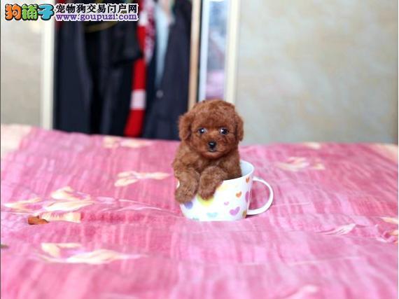 顶级茶杯犬宝宝 品质极佳品相超好 当天付款包邮
