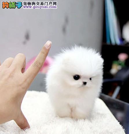 重庆哪里有纯种的茶杯犬 茶杯犬价格 多少钱一只