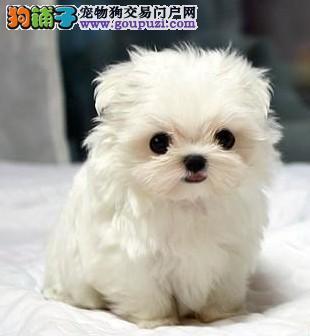 CKU犬舍认证威海出售纯种马尔济斯购犬可签协议