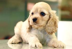 上海出售可卡幼犬 可卡狗狗照片 疫苗驱虫已做 健康