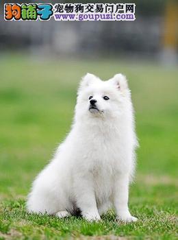 纯种银狐犬宝宝白城地区找主人支持全国空运发货