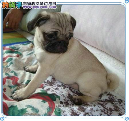 出售巴哥犬幼犬品质好有保障品质一流三包终身协议