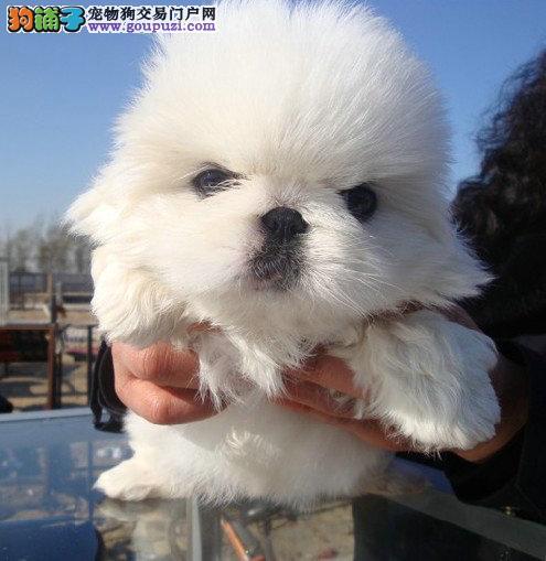 深圳什么地方能买到京巴狗