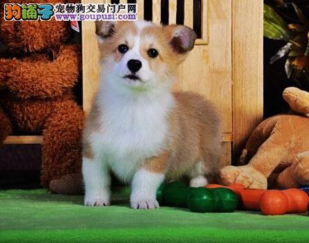 洛阳最大的柯基基地 完美售后微信视频看狗