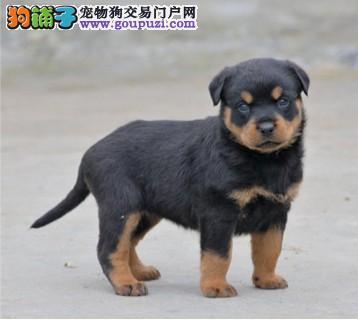 重庆纯正德系罗威纳防暴犬、大头粗腿忠诚强悍幼仔出售