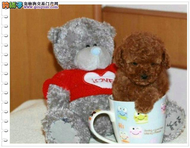 深圳哪里有茶杯泰迪犬出售 纯种茶杯泰迪多少钱一只