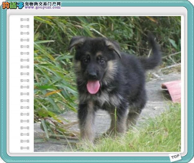 长沙哪里有狼犬出售 纯种狼犬幼犬多少钱一只