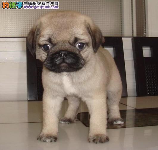 热销多只优秀的纯种重庆巴哥犬签订合法售后协议