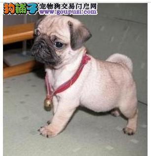实物拍摄的重庆巴哥犬找新主人质保三年支持送货上门