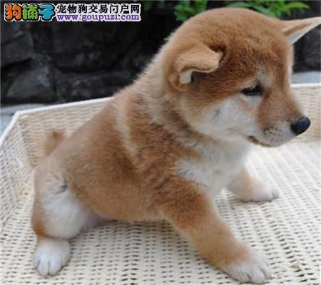 家养纯种日本柴犬 超级聪明忠实 血统纯正品相好健康