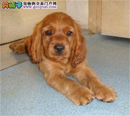 出售纯种英卡 、美卡 、可卡幼犬 可视频看狗
