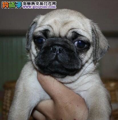 青岛专业的巴哥犬犬舍终身保健康喜欢的别错过