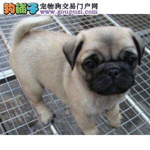 重庆热销巴哥犬颜色齐全可见父母诚信经营三包终身协议