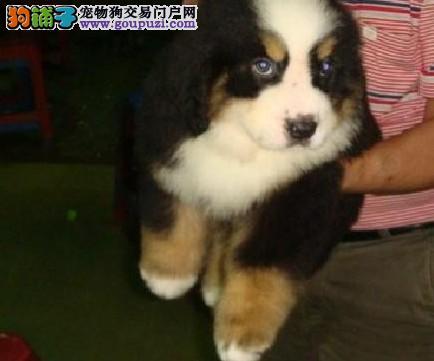 伯恩山 纯种伯恩山养殖基地 欢迎各位爱狗朋友亲来购买