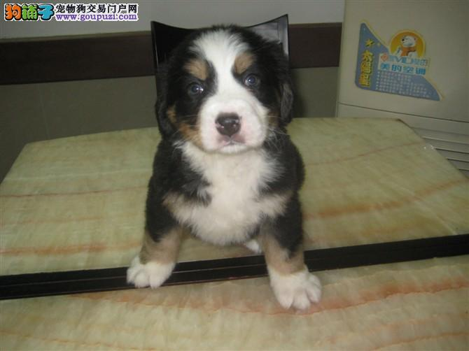 出售纯正健康的伯恩山幼犬 狗狗品相漂亮 血统纯正