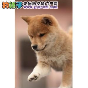 成都地区出售自己养的柴犬幼犬