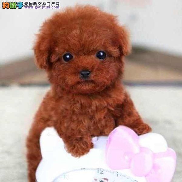 高品质泰迪犬幼犬,纯正血统完善服务,讲诚信信誉好