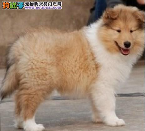 CKU犬舍认证株州出售纯种苏牧微信咨询看狗