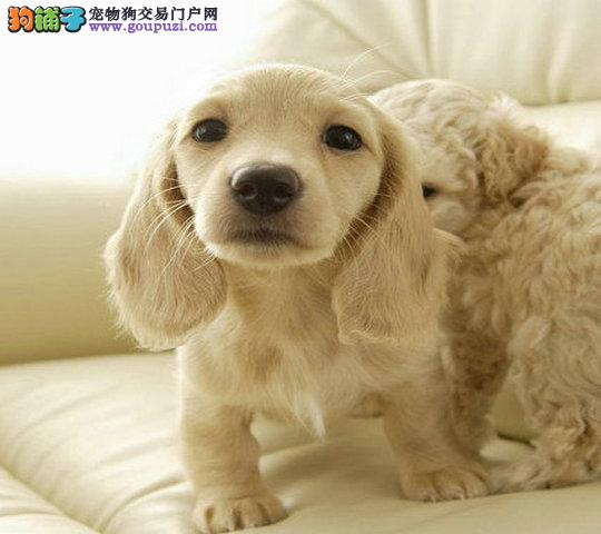 哪里有没有卖可卡价格多少钱 有没有卖赛级可卡幼犬
