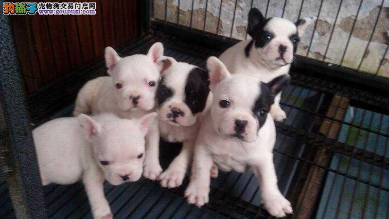 纯种法国斗牛犬幼犬出售 包纯种健康可签协议 家养法牛