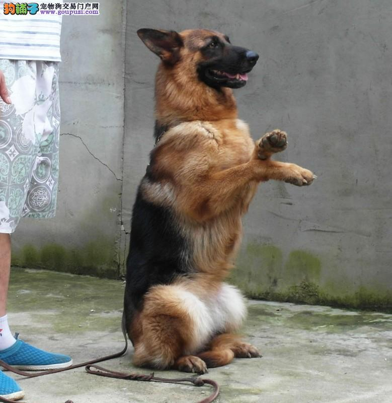 德牧犬舍 出售 纯种德国牧羊犬,血统品质健康有保证