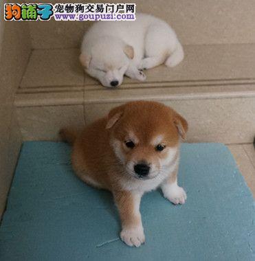 可爱寓意柴犬 有柴就有财 保纯 疫苗齐全精品日本柴犬