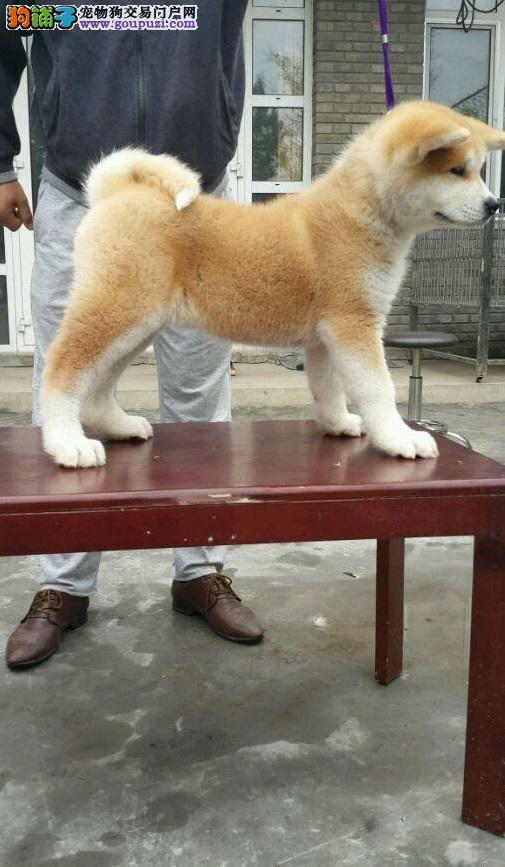 纯种秋田.幼犬宝宝 健康质保 低价出售 公母齐全