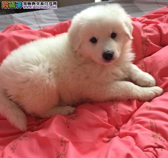 买大白熊幼犬、来西安狗场、24小时随时看狗