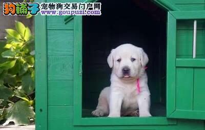科学繁育高品质英系拉布拉多犬/经典黑色拉布拉多犬