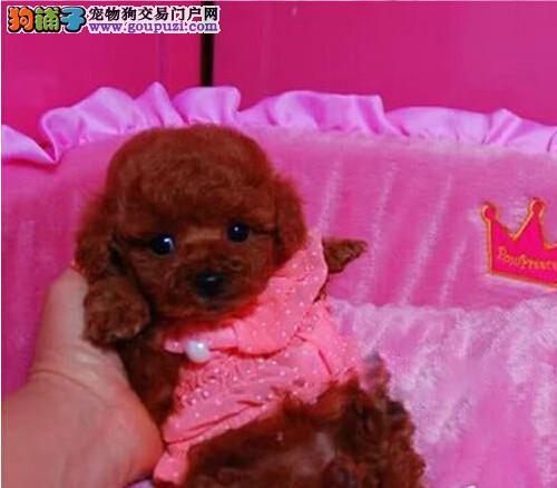 成都出售贵宾幼犬 玩具标准体型贵宾 公母都有疫苗齐全