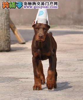 高品质赛级警用杜宾犬,实地选狗可刷卡送货