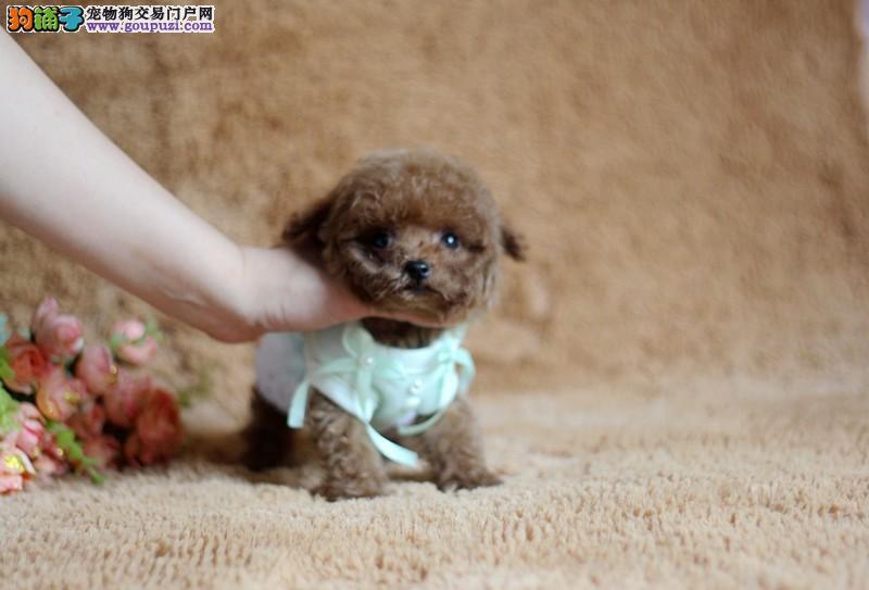 西城自家繁殖小宝贝真正的茶杯犬出售