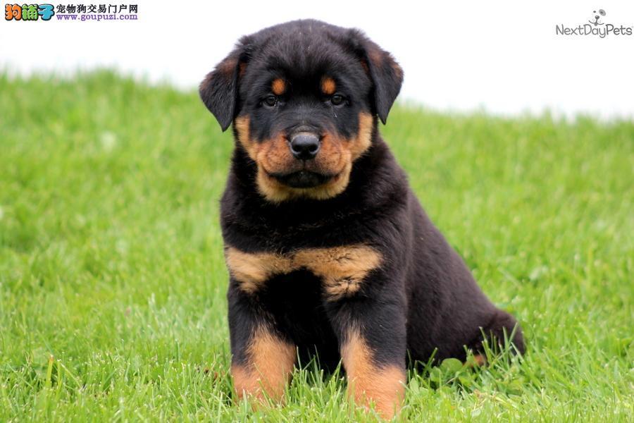 深圳狗场 深圳纯种罗威纳犬 出售大头嘴宽罗威纳犬