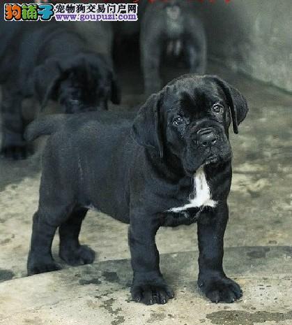 上海哪里有卖卡斯罗犬的 纯种卡斯罗幼犬好多钱一只