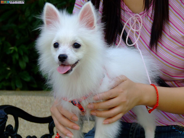 AC国际联保专业繁殖银狐幼犬/品质保证-终身质保