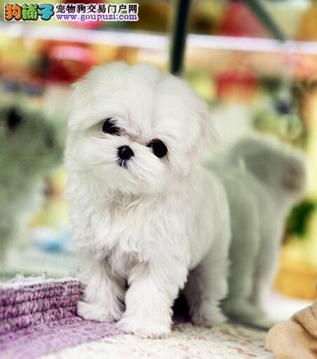 我基地常年出售由CKU协会认证的纯种马尔济斯幼犬