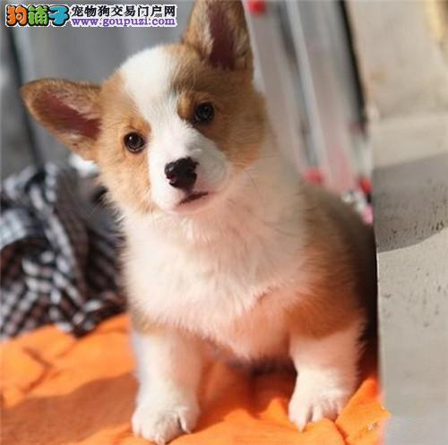 威尔士柯基幼犬品相好健康有保障 可签购犬协议